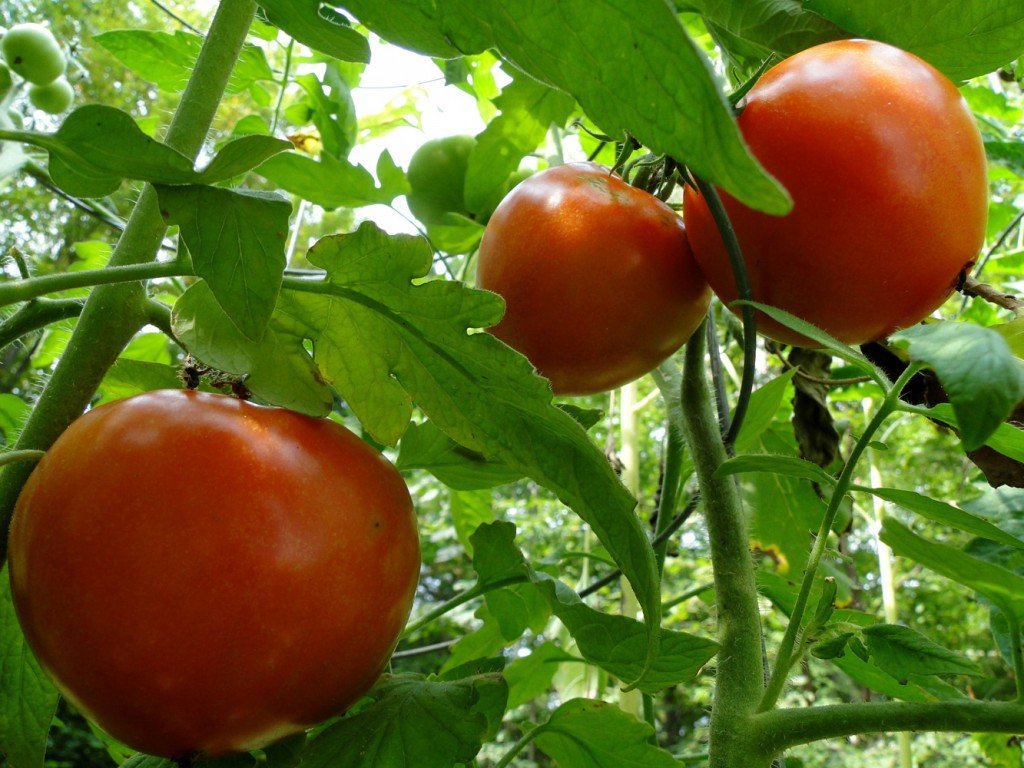 About Growing Tomatoes 4 You