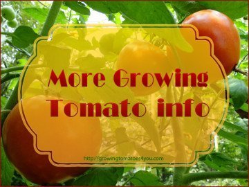 Growing Tomato Info