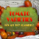 Tomato Varieties – How are they Classified?