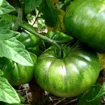 Recipe For Fried Green Tomatoes