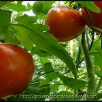 Tomato Plant Care-Give Them What They Need