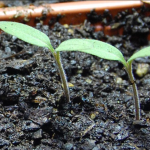 Growing Tomatoes From Seed – Starting from Scratch