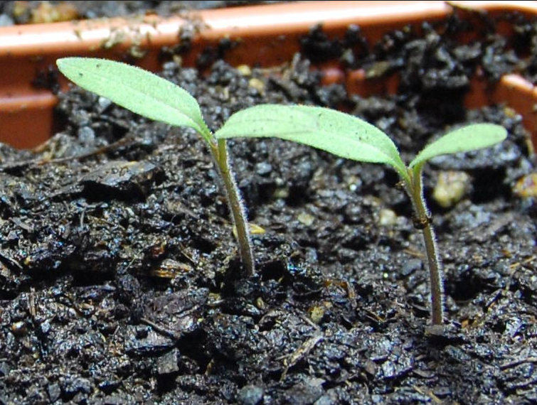 Growing Tomatoes From Seed Starting Scratch