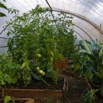 Make Cheap Hoop Green Houses For Your Tomato Plants